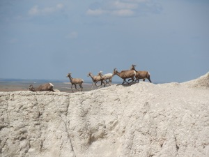 A herd of mountain goats, Notch Trail