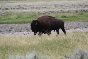 Lamar Valley, bison